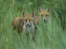 Två röda rävar som står i högväxt gräs Royaltyfri Bild