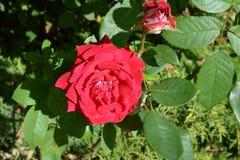 Två röda rosor i den trädgårds- närbilden royaltyfri fotografi