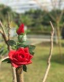 Två röda rosor i trädgård 2 royaltyfria foton