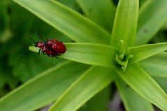 Två röda skalbaggar Arkivfoton