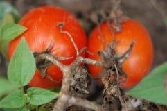 Två röda växa för tomater och för sidor royaltyfria bilder