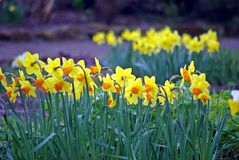 Två rader av påskliljor i trädgården Royaltyfri Foto