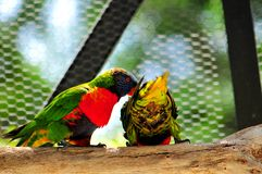 Två regnbågeLorikeet fåglar Royaltyfria Foton