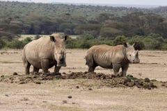 Två rhinos Royaltyfri Foto