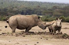 Två rhinos Arkivbild