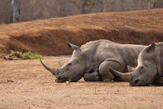 Två rhinos Arkivfoton