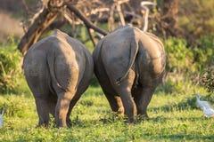 Två rhinos Arkivfoto