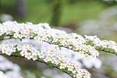 Två ris av den vita busken Arkivbilder
