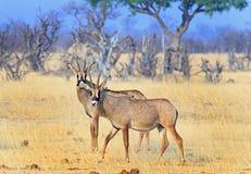 Två Roan Antelopes på de Hwange slättarna Arkivfoton