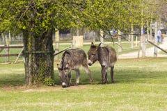 Två roliga åsnor i den dalta zoo Royaltyfria Bilder