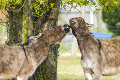 Två roliga åsnor i den dalta zoo Arkivbilder
