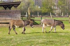 Två roliga åsnor i den dalta zoo Royaltyfri Fotografi