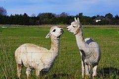 två roliga alpacas Arkivfoton