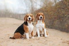 Två roliga beaglehundkapplöpning Royaltyfri Foto