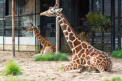 Två roliga giraff har en vila Royaltyfria Bilder
