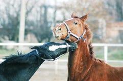 Två roliga hästar som utomhus spelar Arkivfoton