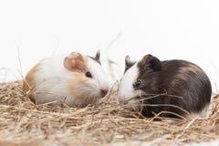 Två roliga hamstrar på vit bakgrund Royaltyfri Fotografi