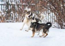 Två roliga hundkapplöpning kör lyckligt över den vita snön arkivfoto