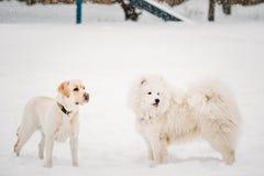 Två roliga hundkapplöpning - spela för labrador som och för Samoyed är utomhus- i snö Royaltyfri Fotografi