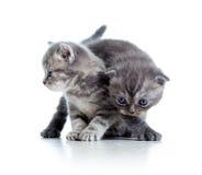 Två roliga kattkattungar leker tillsammans Arkivbild