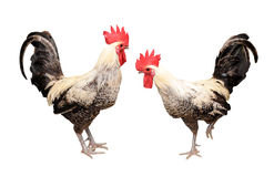 Två Roosters Arkivbild