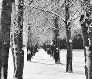 Två ror av trees Royaltyfri Foto