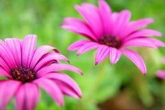 Två rosa blommor på grön bakgrund Royaltyfria Foton