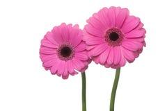 Två rosa färggerberas Arkivbild
