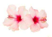 Två rosa färghibiskusblommor Arkivbild