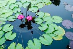 Två rosa lotusblommablommor eller näckros bland gröna sidor Fotografering för Bildbyråer