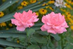 Två rosa ro Fotografering för Bildbyråer