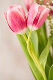 Två rosa tulpan med stammar som slås in runt om de i ett förälskelseH Arkivfoton