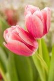 Två rosa tulpan som flätas ihop i omfamning Royaltyfri Foto
