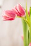 Två rosa tulpan som omfamnar den förälskade kramen Arkivbilder