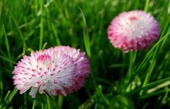 Två rosa vita röda tusenskönablommor arkivbild