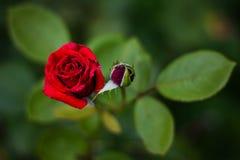 Två rosor Arkivbild