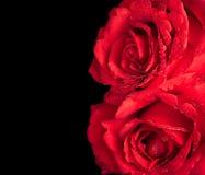 Två rosor på svart bakgrund, valentindag och förälskelsebegrepp Arkivbild