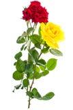 Två rosor som är röda och som är gula på ljus bakgrund Arkivbilder