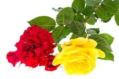 Två rosor som är röda och som är gula på ljus bakgrund Fotografering för Bildbyråer