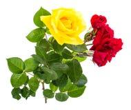 Två rosor som är röda och som är gula på ljus bakgrund Royaltyfri Fotografi