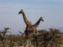 Två Rothschilds giraff som korsar halsar Arkivfoto