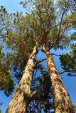 Två sörjer träd mot den blåa himlen Royaltyfria Bilder