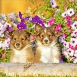 Två söta valpar för Shetland fårhund som är få gammalt sitta för vecka tillsammans vid blommor royaltyfri fotografi