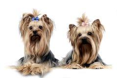 Två söta yorkshire terrier som kopplar av i wehitestudio Royaltyfria Bilder