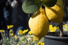 Två saftiga citroner för stor beautigulguling som växer på sunlien tre Royaltyfri Fotografi
