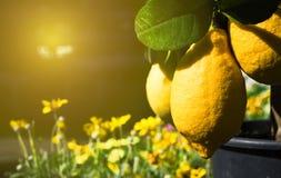 Två saftiga citroner för stor beautigulguling som växer på sunlien tre Arkivbilder