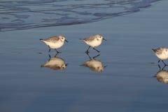 Två sanderlings som kör i vattenlinjen i sökande av mat royaltyfri bild