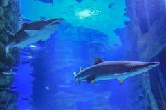 Två sandhajar som simmar i blått vatten arkivbilder