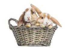 Två satängMini Lop kaniner i en vide- korg som isoleras Arkivbild