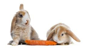 Två satängMini Lop kaniner som äter en morot som isoleras arkivbild
